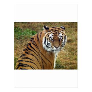 Tigress in the rain postcards