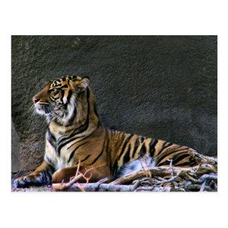 Tigress postcard
