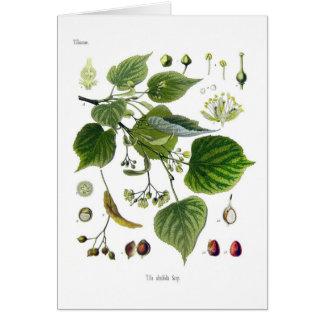 tilia ulmifolia card