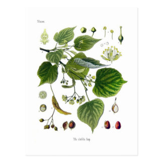 tilia ulmifolia postcard