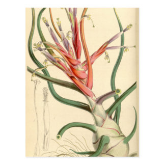 Tillandsia bulbosa postcard