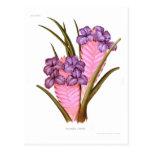 Tillandsia lindeni postcard