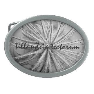 Tillandsia tectorum belt buckle