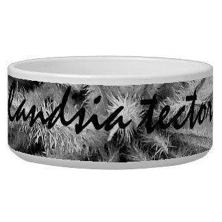 Tillandsia tectorum bowl