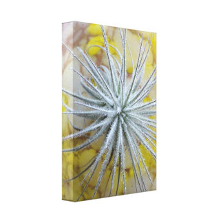 Tillandsia tectorum canvas print