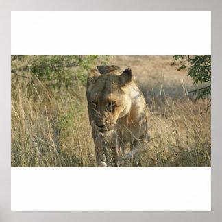 Timbavati Lion Posters