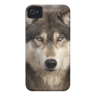 Timber wolf by Jim Zuckerman iPhone 4 Cover