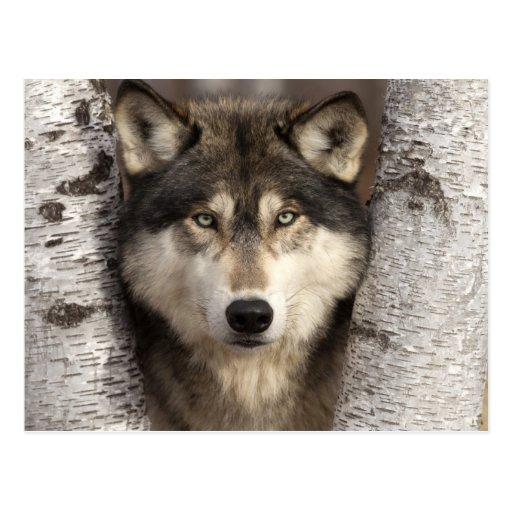 Timber wolf by Jim Zuckerman Postcards