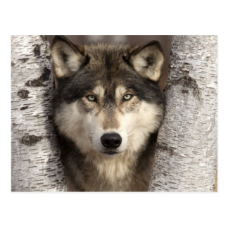 Timber wolf by Jim Zuckerman Postcard