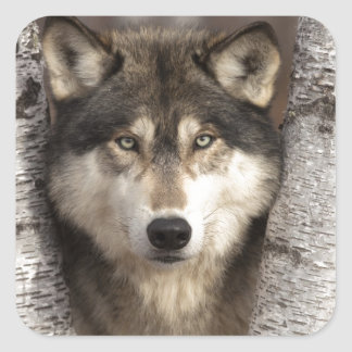Timber wolf by Jim Zuckerman Square Sticker