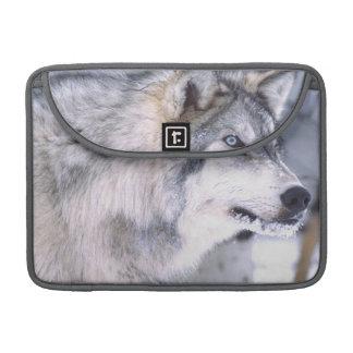 Timber Wolf, Canis lupus, Movie Animal Utah) Sleeve For MacBook Pro