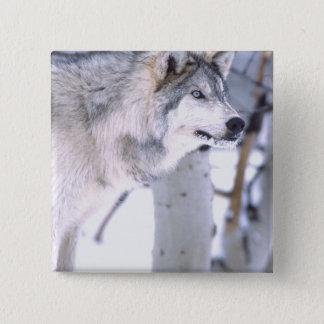 Timber Wolf, Canis lupus, Movie Animal Utah) Pinback Button