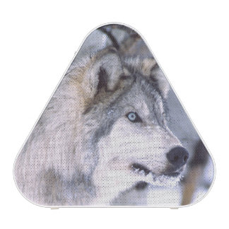 Timber Wolf, Canis lupus, Movie Animal Utah) Speaker