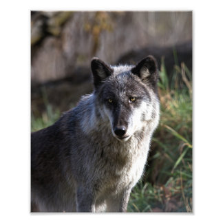 Timber Wolf - Close Up Photo Print