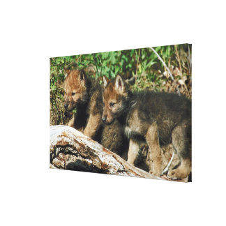 Timber wolf cubs canvas print