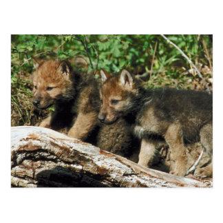 Timber wolf cubs postcard
