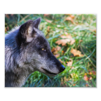 Timber Wolf Face Photo Print