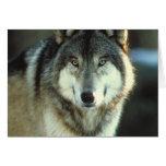 Timber-Wolf from JungleWalk.com Cards
