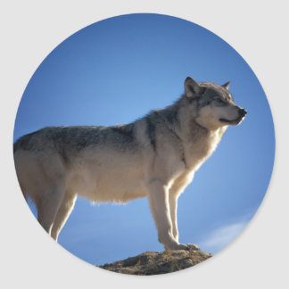Timber Wolf in Montana - Big Sky Country Classic Round Sticker