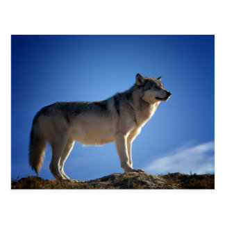Timber Wolf in Montana - Big Sky Country Postcard