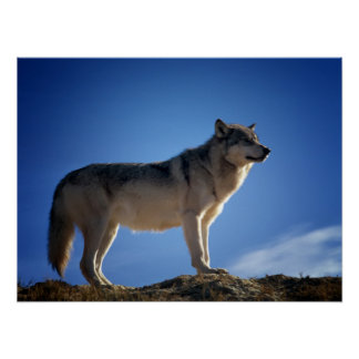 Timber Wolf in Montana - Big Sky Country Poster