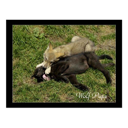 Timber Wolf Pups  Wild Animal Postcards