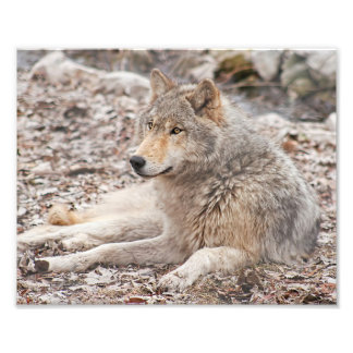 Timber Wolf Resting Photography Print
