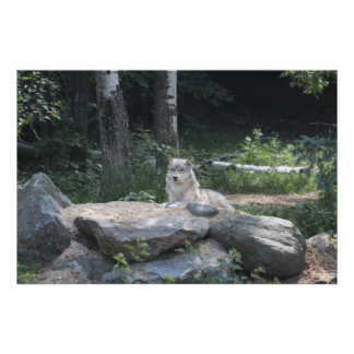 Timber Wolf Resting Poster