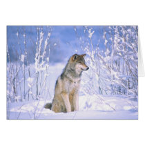 Timber Wolf sitting in the Snow, Canis lupus,