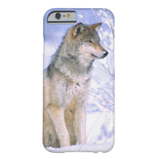 Timber Wolf sitting in the Snow, Canis lupus, Barely There iPhone 6 Case