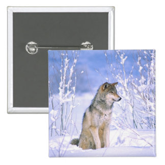 Timber Wolf sitting in the Snow, Canis lupus, Button