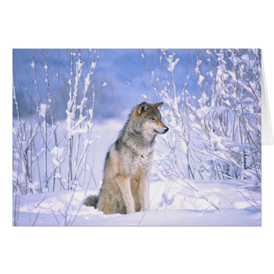 Timber Wolf sitting in the Snow, Canis lupus, Card