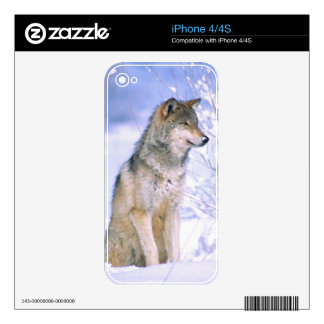 Timber Wolf sitting in the Snow, Canis lupus, Decals For The iPhone 4