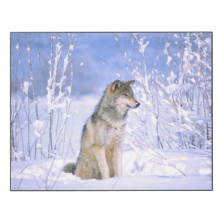 Timber Wolf sitting in the Snow, Canis lupus Wood Wall Art