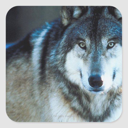 Timber wolf square sticker