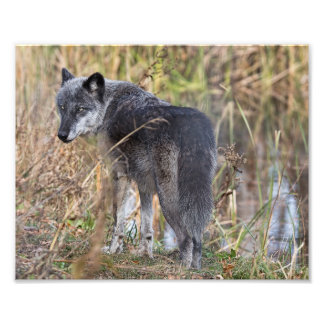Timber Wolf Standing by Water Photo Print