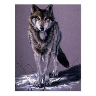 Timber Wolf study Postcard