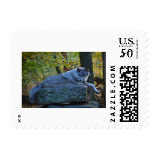 Timberline wolf resting in autumn postage