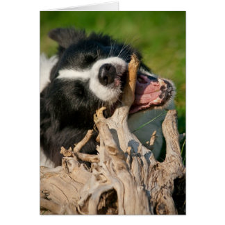 Tino the Border Collie, chews on stick Greeting Cards