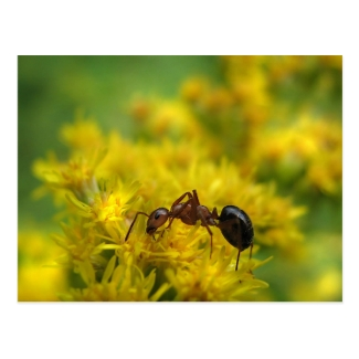 Tiny Ant on Goldenrod