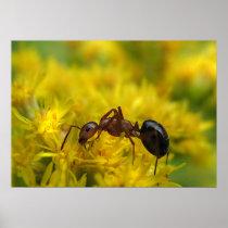 Tiny Ant on Goldenrod Poster