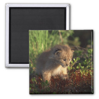 Tiny Baby Lynx 2 Inch Square Magnet