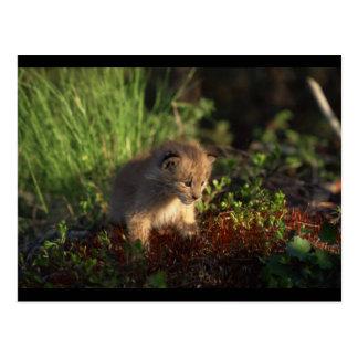 Tiny Baby Lynx Postcard