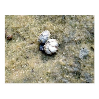 Tiny Barnacles Postcard