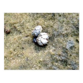 Tiny Barnacles Postcard