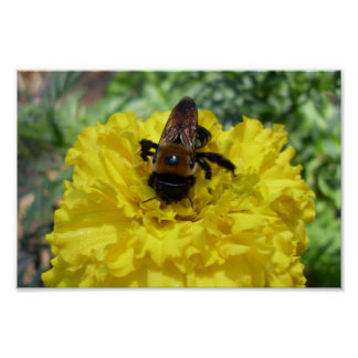 Tiny Bumble Bee Collecting Honey And Pollen From B Poster