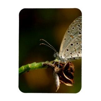 Tiny Grass Blue Zizula Hylax Butterfly Magnet