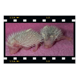 Tiny hedgehog babies posters