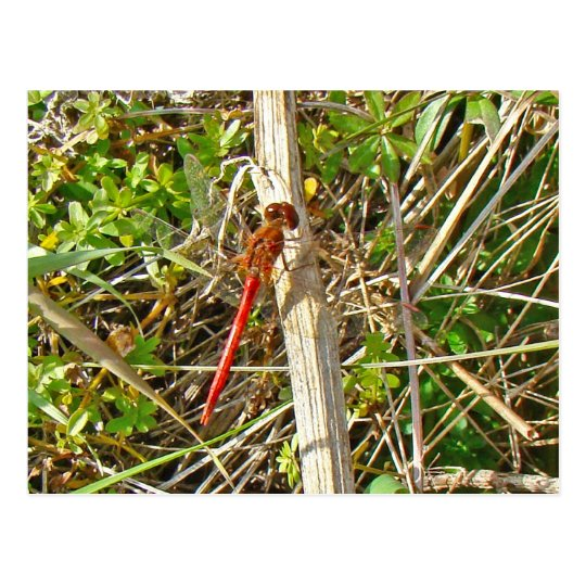 Tiny Red Dragonfly in November Postcard