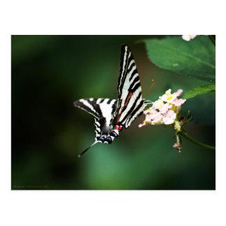 Tiny Zebra Postcard